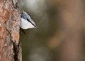 Nuthatch sitting on fir tree Stock Photos