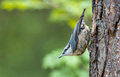 Nuthatch on a stump in the forrest Royalty Free Stock Images