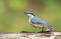 Nuthatch on a stump in the forrest Royalty Free Stock Photos