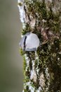 Nuthatch on the tree Royalty Free Stock Image
