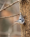 Nuthatch on a Tree Royalty Free Stock Image