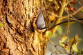 Nuthatch on tree trunk. Royalty Free Stock Photography