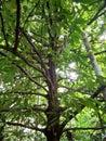 Nutmeg tree Royalty Free Stock Photo