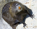 Nutria 7 Royalty Free Stock Photo