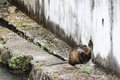 The nutria at his burrow a is relaxed door of Stock Image