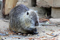 Nutria nutrias river rats or myocastor coypus Stock Photo