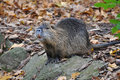 Nutria portrait Royalty Free Stock Images