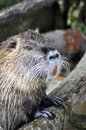 Nutria portrait latin name myocastor coypus Royalty Free Stock Photos
