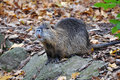 Nutria portrait latin name myocastor coypus Royalty Free Stock Images