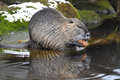 Nutria portrait latin name myocastor coypus Stock Image