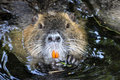 Nutria portrait latin name myocastor coypus Stock Photo