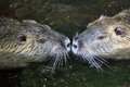 Nutria portrait latin name myocastor coypus Royalty Free Stock Image