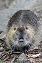 Nutria portrait latin name myocastor coypus Stock Photos