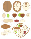 Nuts walnut almond peanut pistachio hazelnut set isolated objects on white background vector illustration eps Stock Photos