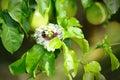 Ny passionfrukt i trädgården Arkivbilder