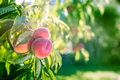 Nya persikor på ett träd i sommar Royaltyfri Fotografi
