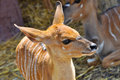 Nyala also called inyala spiral horned antelope native to southern africa Royalty Free Stock Image