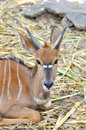 Nyala also called inyala spiral horned antelope native to southern africa Royalty Free Stock Photography