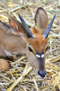 Nyala also called inyala spiral horned antelope native to southern africa Stock Photography