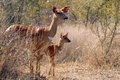Nyala angasii or tragelaphus angasii cow and calf in kruger national park south africa Stock Image