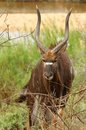 Nyala angasii or tragelaphus angasii in kruger national park south africa Royalty Free Stock Photography