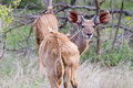 Nyala in the bush at the Jackalberry Safari Lodge, South Africa Stock Images