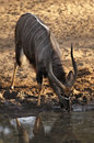 Nyala Male Antelope drinking at waterhole Royalty Free Stock Image