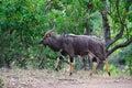 Nyala Male (Tragelaphus angasii) Royalty Free Stock Photo