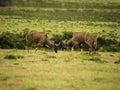 Nyala Males jousting Royalty Free Stock Photo