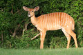 Nyala, South Africa Stock Photography