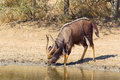Nyala at waterhole Royalty Free Stock Photo