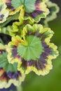 Nyanserad bladpelargon Royaltyfria Bilder