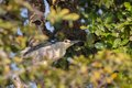 Nycticorax Stockfoto
