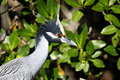 Nycticorax violaceus, yellow-crowned night heron Stock Images