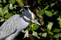 Nycticorax violaceus, yellow-crowned night heron Stock Photography