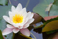 Nymphaea lotus f. thermalis Royalty Free Stock Photo