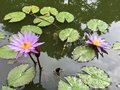 Nymphaea Nouchali Blue Lotus Water Lily Royalty Free Stock Photo