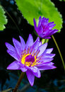 Nymphaea purple tropical lotus waterlily bloom Stock Images