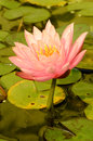 Nymphaea spp Stock Photography