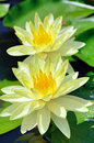 Nymphaea of two flowers. Stock Images