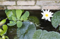 Nymphaea water lilly photo of Royalty Free Stock Photo
