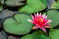 Nymphaea Water lily Royalty Free Stock Photo