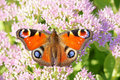 Nymphalidae butterfly a beautiful stopped at sedum flowers scientific name inachis ic linnaeus Stock Image