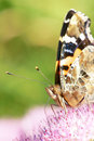 Nymphalidae butterfly the close up of scientific name vanessa indica Stock Photo