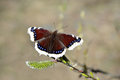 Nymphalis antiopa mourning cloak or camberwell beauty a migratory butterfly with deep purple yellow bordered wings Stock Images