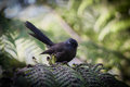 NZ  Fantail Royalty Free Stock Photo