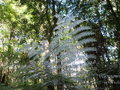 Nz silver fern iconic leaves on under side useful in the bush forest as a marker if lost easily seen from the air if laid Stock Image