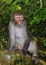 O rei staring do macaco em visitantes Foto de Stock Royalty Free