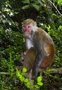 O rei staring do macaco em visitantes Fotografia de Stock Royalty Free