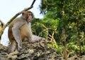 O rei staring do macaco em visitantes Fotografia de Stock